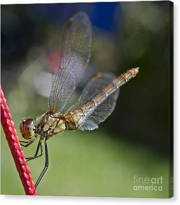 Dragonfly Canvas Print by Heiko Koehrer-Wagner