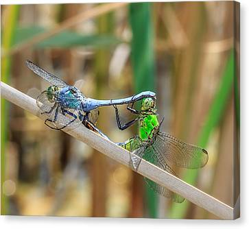 Dragonfly Love Canvas Print by Everet Regal