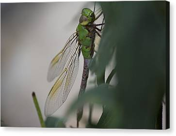 Dragonfly Canvas Print by Michel DesRoches