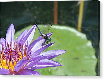 Dragonfly On Purple Water Lily Canvas Print by Becky Lodes