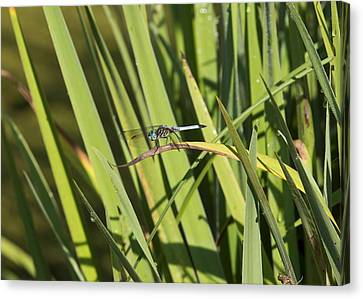 Dragonfly Canvas Print by Ron Sgrignuoli