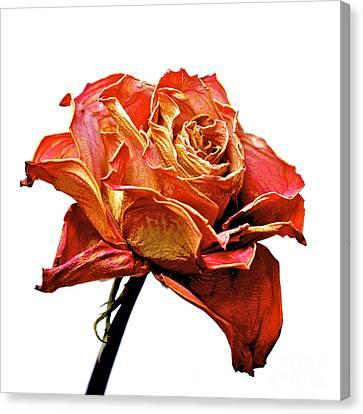 Dried Rose Canvas Print by Bernard Jaubert