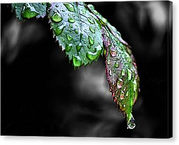 Dripping Wet Canvas Print by Karen M Scovill
