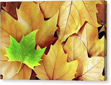 Dry Fall Leaves Canvas Print by Carlos Caetano