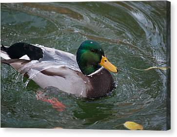 Duck Bathing Series 3 Canvas Print by Craig Hosterman