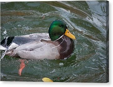 Duck Bathing Series 4 Canvas Print by Craig Hosterman