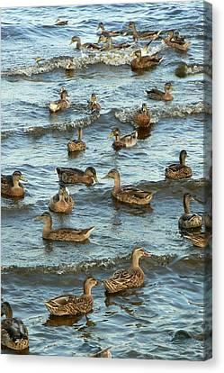 Duck Convention Canvas Print by Seiko Ti