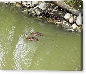 Duckling Pair Canvas Print by Corinne Elizabeth Cowherd