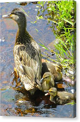 Ducklings Canvas Print by Sarah Gayle Carter