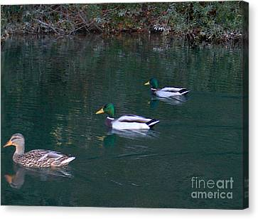 Ducks In A Line  Canvas Print by The Kepharts
