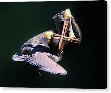 Dueling Pelicans Canvas Print by Paulette Thomas