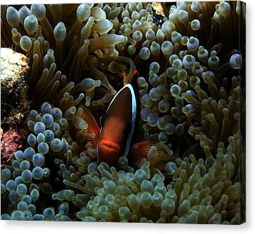 Dusky Anenomefish Canvas Print by Brian Governale