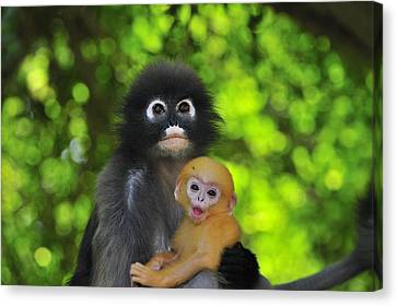 Dusky Leaf Monkey And Baby Canvas Print by Thomas Marent