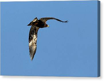 Eagle From Below Canvas Print by Don Mann