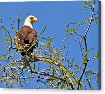 Eagle On Watch Canvas Print by Kathy Ricca