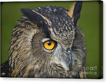 Eagle Owl 2 Canvas Print by Clare Bambers