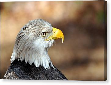 Eagle Right Canvas Print by Marty Koch
