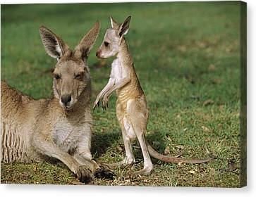 Eastern Grey Kangaroo And Joey Canvas Print by Cyril Ruoso