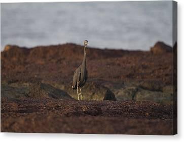 Eastern Reef Egret-dark Morph Canvas Print by Douglas Barnard