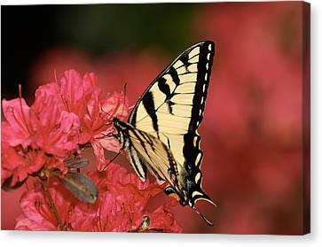 Eastern Yellow Tiger Swallowtail And Azaleas Canvas Print by Lara Ellis