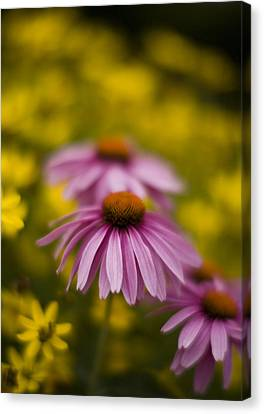 Echinacea Dreamy Canvas Print by Mike Reid