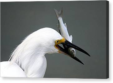 Egret With His Catch Of The Day Canvas Print by Paulette Thomas