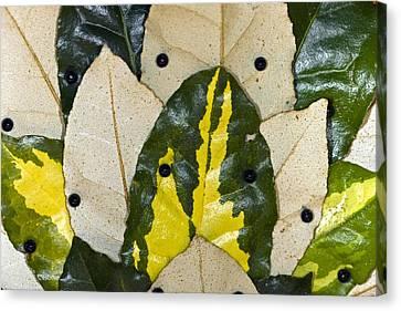 Elaeagnus Pungens 'maculata' Leaves Canvas Print by Dr Keith Wheeler