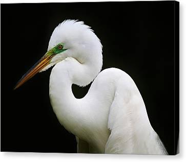 Elegant Great White Egret Canvas Print by Paulette Thomas