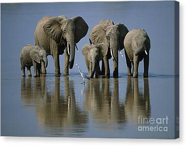Elephants Canvas Print by Jonathan and Angela Scott and Photo Researchers