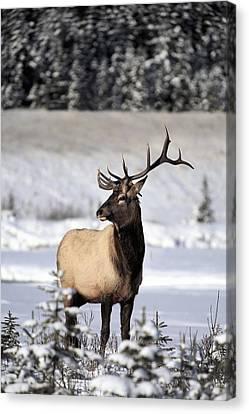 Elk Cervus Canadensis Bull Elk During Canvas Print by Richard Wear
