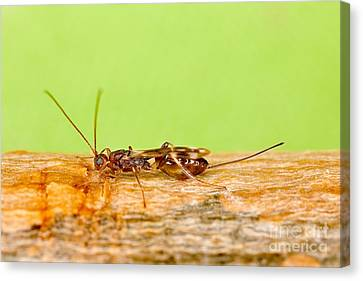Emerald Ash Borer Parasite Canvas Print by Science Source