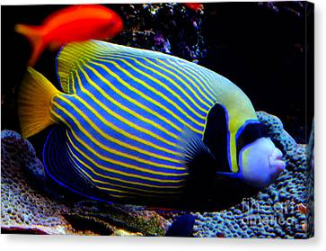 Emperor Angelfish Canvas Print by Pravine Chester