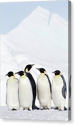 Emperor Penguins And Icebergs, Weddell Sea Canvas Print by Joseph Van Os