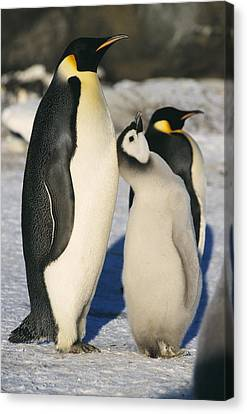 Emperor Penguins With Chick Canvas Print by Doug Allan