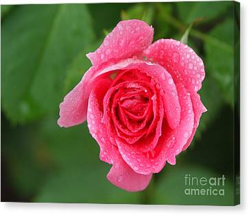 English Rose Canvas Print by Bonnie Sue Rauch and Photo Researchers