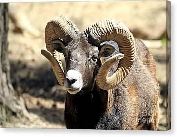 European Big Horn - Mouflon Ram Canvas Print by Teresa Zieba