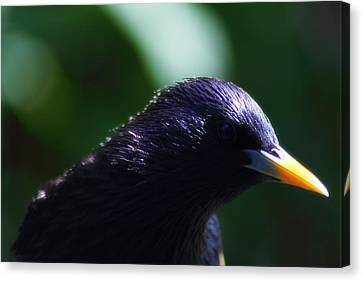 European Starling Canvas Print by Scott Hovind