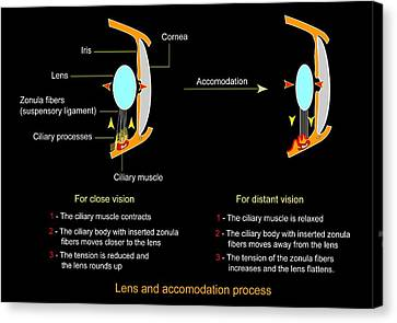 Eye Lens And Accommodation, Diagram Canvas Print by Francis Leroy, Biocosmos