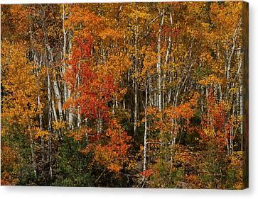 Fall Colors Grand Mesa Canvas Print by Ernie Echols