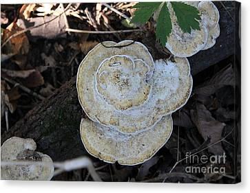 Fall Mushrooms Canvas Print by Rick Rauzi