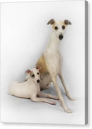 Father And Son Whippets Canvas Print by John Clum