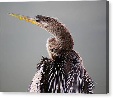 Female Anhinga Canvas Print by Paulette Thomas