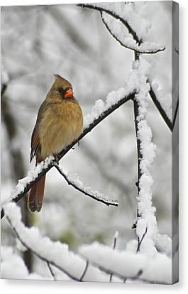 Female Cardinal 3656 Canvas Print by Michael Peychich