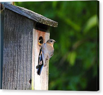 Female Eastern Bluebird IIi Canvas Print by Jai Johnson