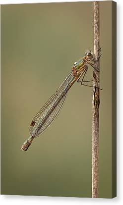 Female Emerald Damselfly Canvas Print by Andy Astbury