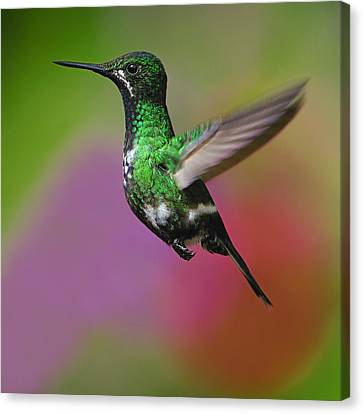 Female Green Thorntail Canvas Print by Tony Beck