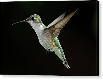 Female Hummingbird Canvas Print by DansPhotoArt on flickr