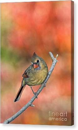 Female Northern Cardinal - D007809 Canvas Print by Daniel Dempster