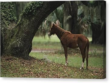 Feral Horse Munching Spanish Moss Canvas Print by Raymond Gehman