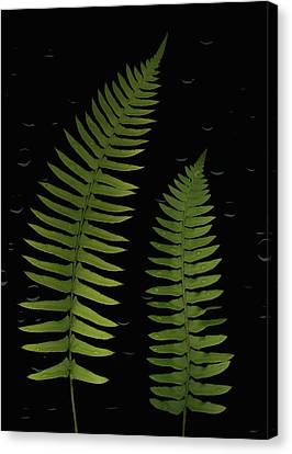 Fern Leaves With Water Droplets Canvas Print by Deddeda